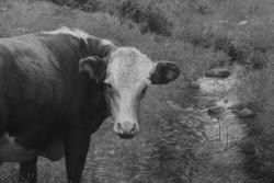 cows, detail